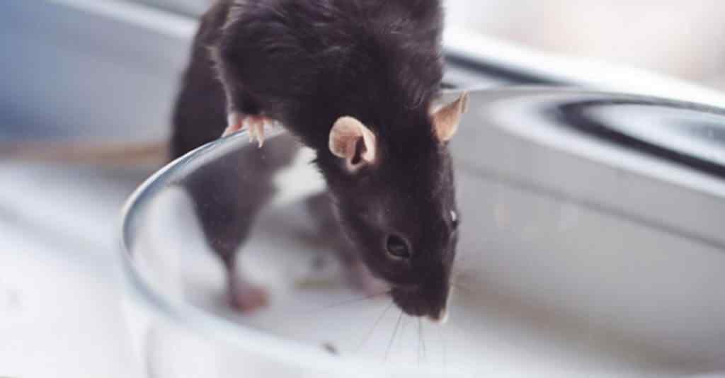 Rat control services in Pakistan