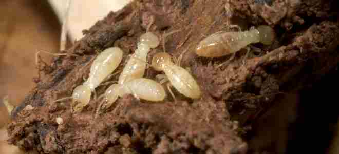 termite treatment at home