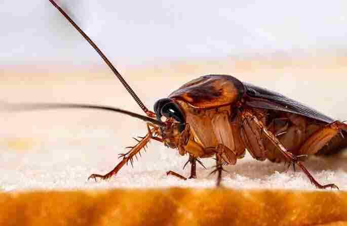 Pest Control Services Pakistan : cockroaches