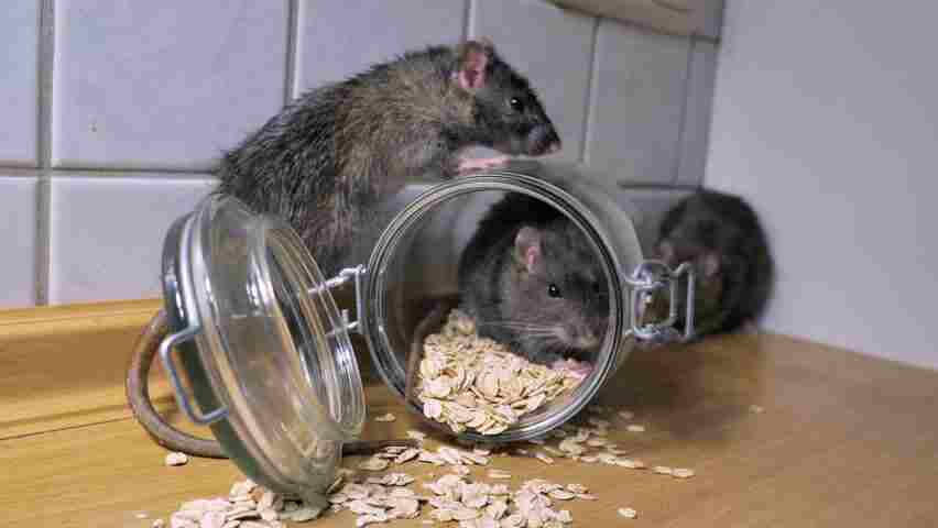 rodent control services Pakistan