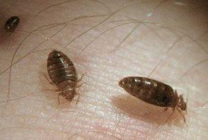 Bed Bug Solution